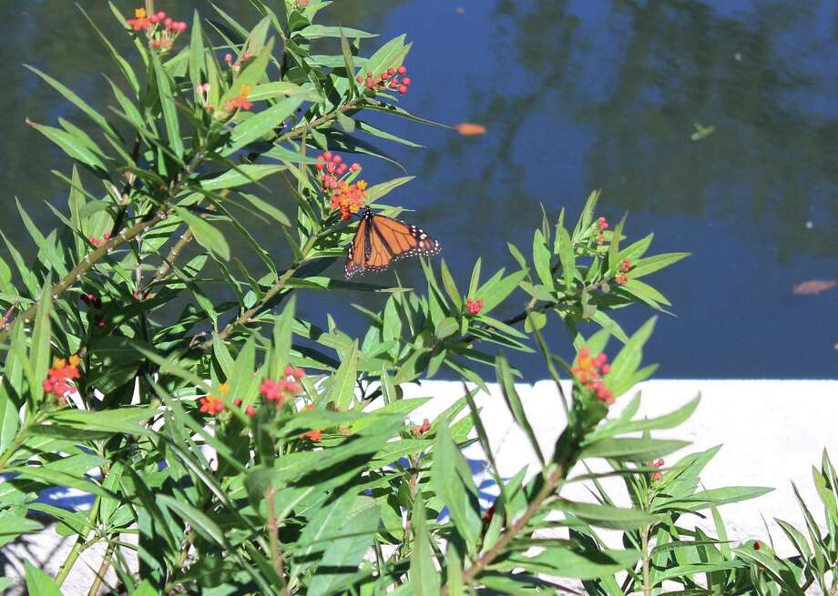San Antonio Mayor Ron Nirenberg reconfirmed the city's commitment to monarch butterflies on Oct. 16, 2017, by taking the National Wildlife Federation's Mayors' Monarch Pledge. San Antonio lies along the migration pathways that monarchs use to fly to Mexico for the winter. Photo: Brendan Gibbons / San Antonio Express-News /