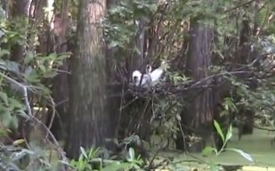 600x374 Nest with birds, in Stills from Video, by Bret Wagenhorst, May 2009