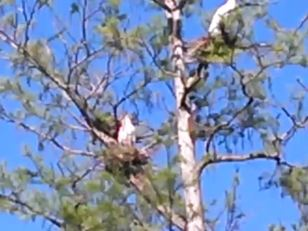640x480 Movie: Nesting birds, in Lewis lake, by John S. Quarterman, for WWALS.net, 17 May 2014