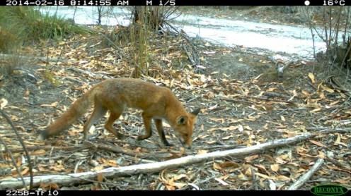 Red fox Vulpes vulpes. Photo Shannon Dundas