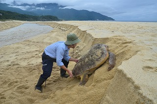u:浜垣を上がれずにいたウミガメの救出