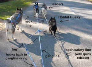 Dogs with a gangline