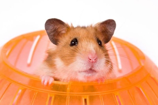 hamster dentro do brinquedo