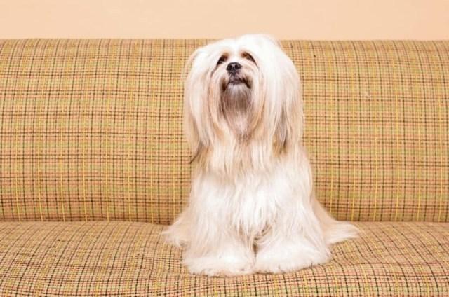 lhasa apso no sofá
