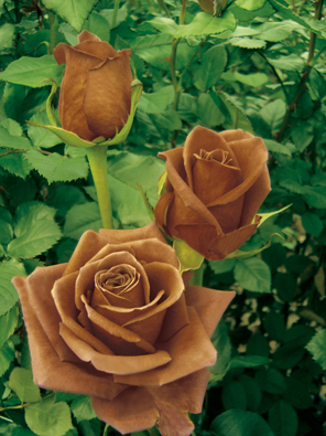 Chocolate Roses :  wedding flowers themes Brown Rose brown_rose.jpg
