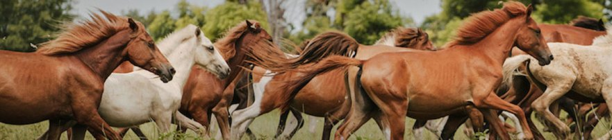 Wild horses in Sumba