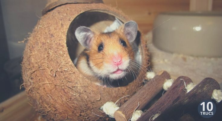Criceto Hamster In Its Cage Hamsters Wallpaper 6594437 Fanpop