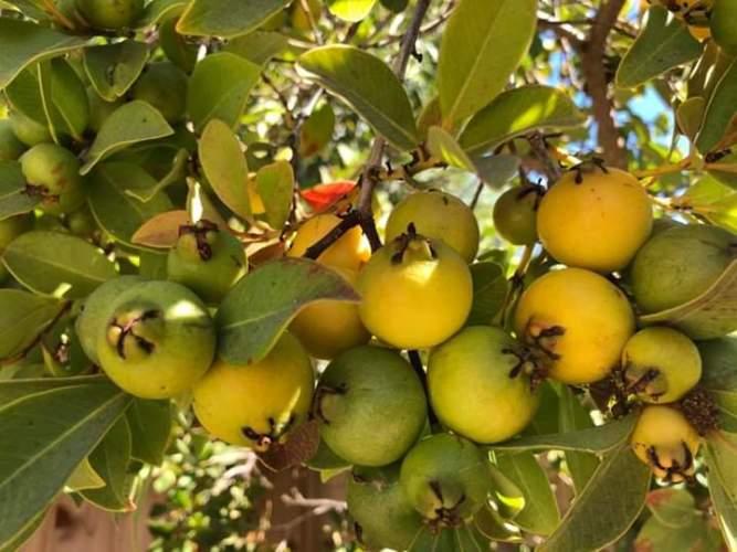 guava crops
