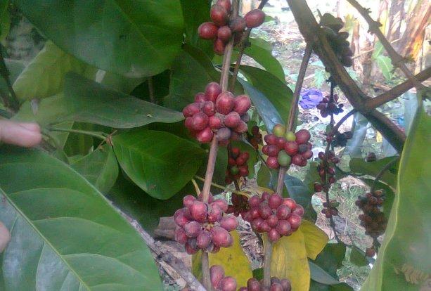 Coffee Producer Countries Worldwide