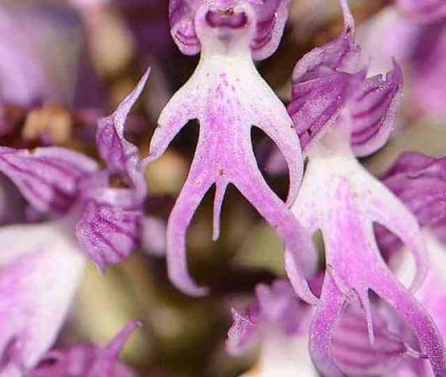 Naked Man Orchid Amazing Orchis Italica Flower  Gardens