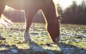 Paard is aan het grazen.