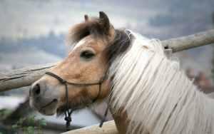 Beige paardje met witte manen.
