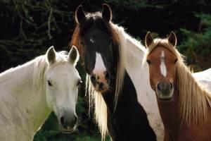 Drie paarden op een rij die naar de camera kijken