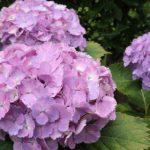 紫陽花と花菖蒲と。