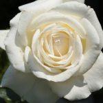 バラと紫陽花の開花状況。