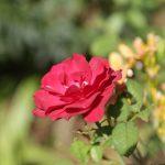 夏のバラ。