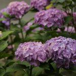 2020年6月12日の紫陽花など。