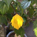 黄色い葉っぱと薔薇。