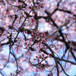 2021年のたぶん最初に見た桜。