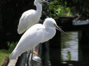Vogelnamen van deze witte vogels zijn Ice & Ivy