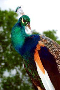 De naam van deze prachtige pauw is Ovi