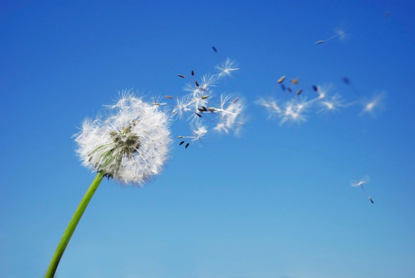 Celebrating the Dandelion, Dandelion seeds blowing in the wind.