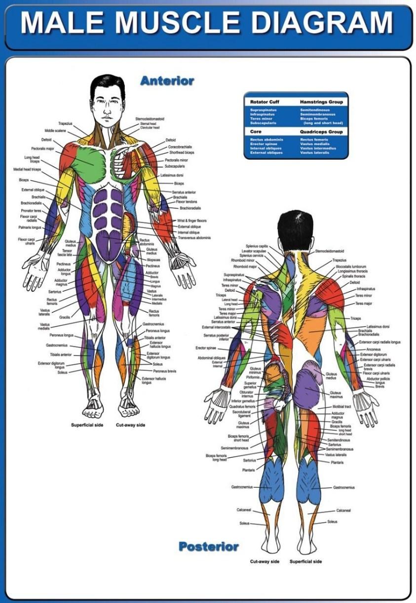 Human Body Muscle Diagrams