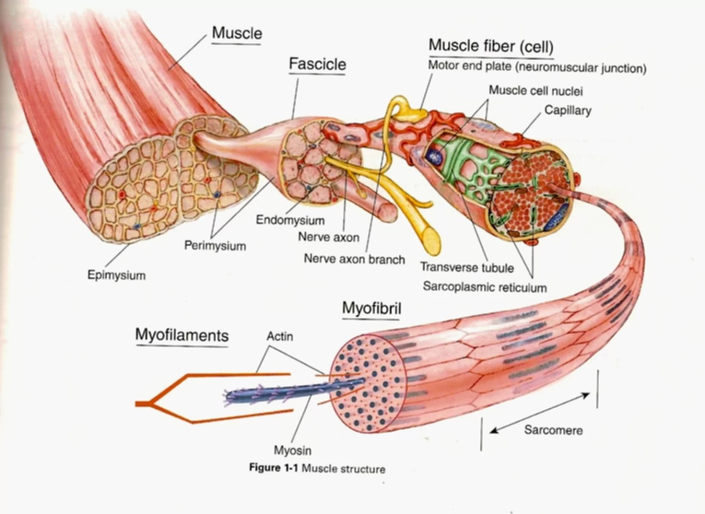 Diagrams Of Muscular System