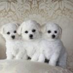 Bichon Poo Bichon Poodle Mix Info Puppies Pictures Temperament