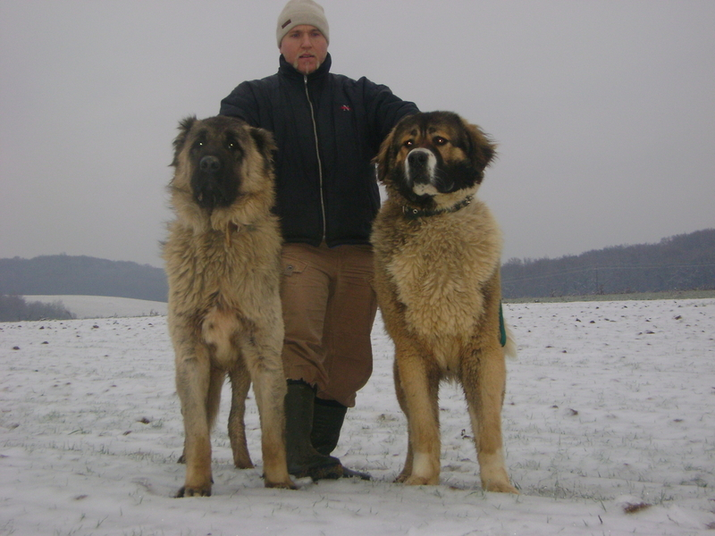 Image result for caucasian shepherd dog