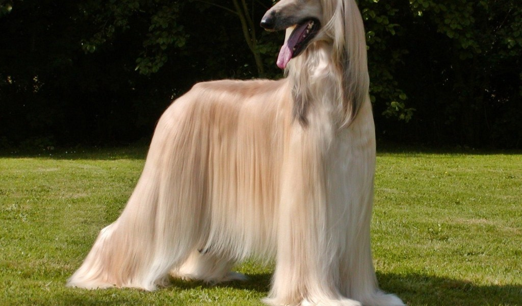 Afghan Hound Mix Puppies - Pets and Animals Paradise