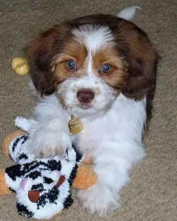 Schweenie Dachshund Shih Tzu Mix Info Puppies