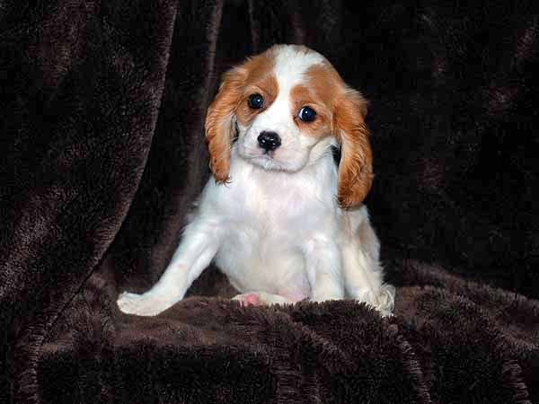 Cavalier King Charles Spaniel Puppies Colors
