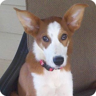 Ibizan Hound Info Temperament Training Diet Puppies