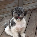 Shih Poo Shih Tzu Poodle Mix Facts Temperament Training Diet Puppies Pictures