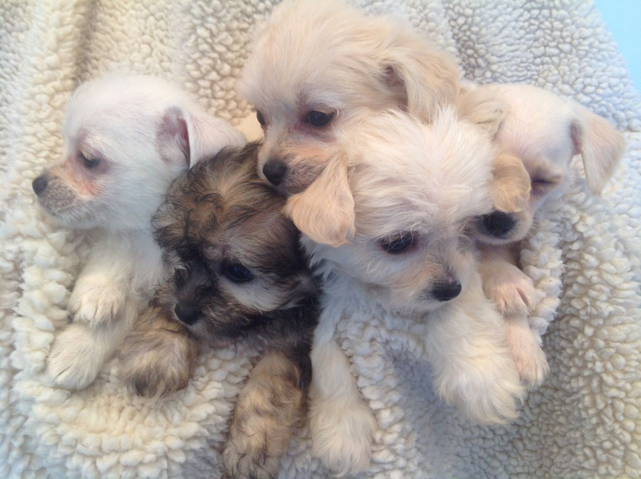 Chi Chon Bichon Frise Chihuahua Mix Info Care Puppies