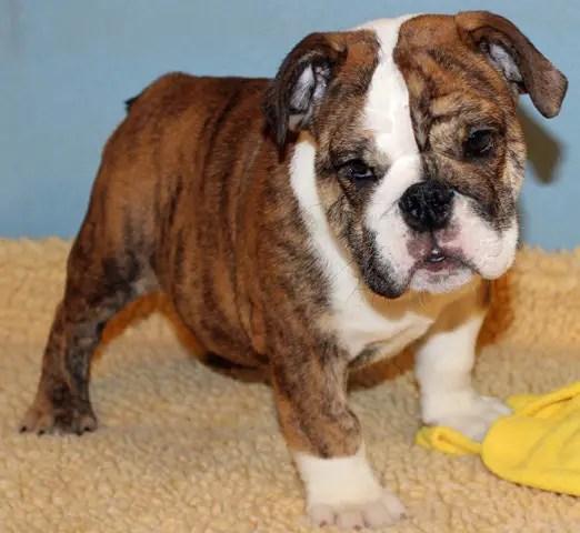 French Mix Boxer Puppies Bulldog