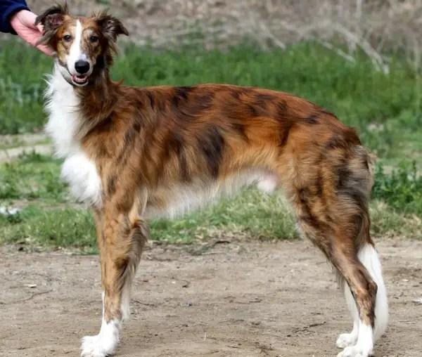 Silken Windhound Info Temperament Puppies Pictures