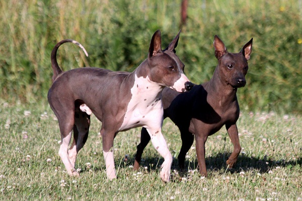 American Hairless Terrier Info Temperament Puppies Pictures
