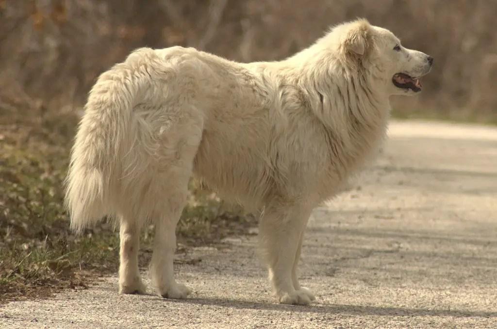 Herding Dogs Sheep White