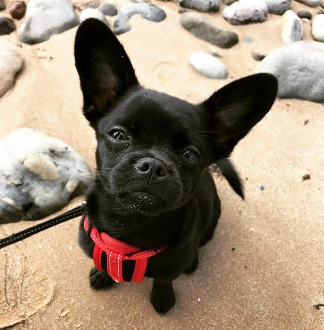 list of french bulldog mixes with pictures