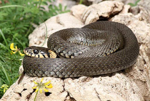 Native UK Snakes: Natrix natrix (grass snake) coiled on a rock. Image by By H. Krisp [CC BY 3.0 (https://creativecommons.org/licenses/by/3.0)], from Wikimedia Commons