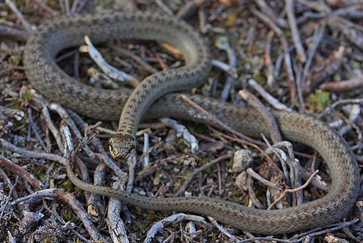 Native UK Snakes: Smooth snake (Coronella austriaca) on the ground. Photographed by Thomas Brown [CC BY 2.0 (https://creativecommons.org/licenses/by/2.0)], via Wikimedia Commons