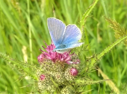 Common blue butterfly on a pink thistle flower. Copyright Stephanie Boon, 2018. All Rights Reserved.
