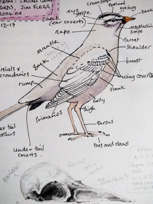 Hand drawn and painted bird anatomy diagram from a nature journal. Copyright Stephanie Boon, 2018, All rights Reserved.