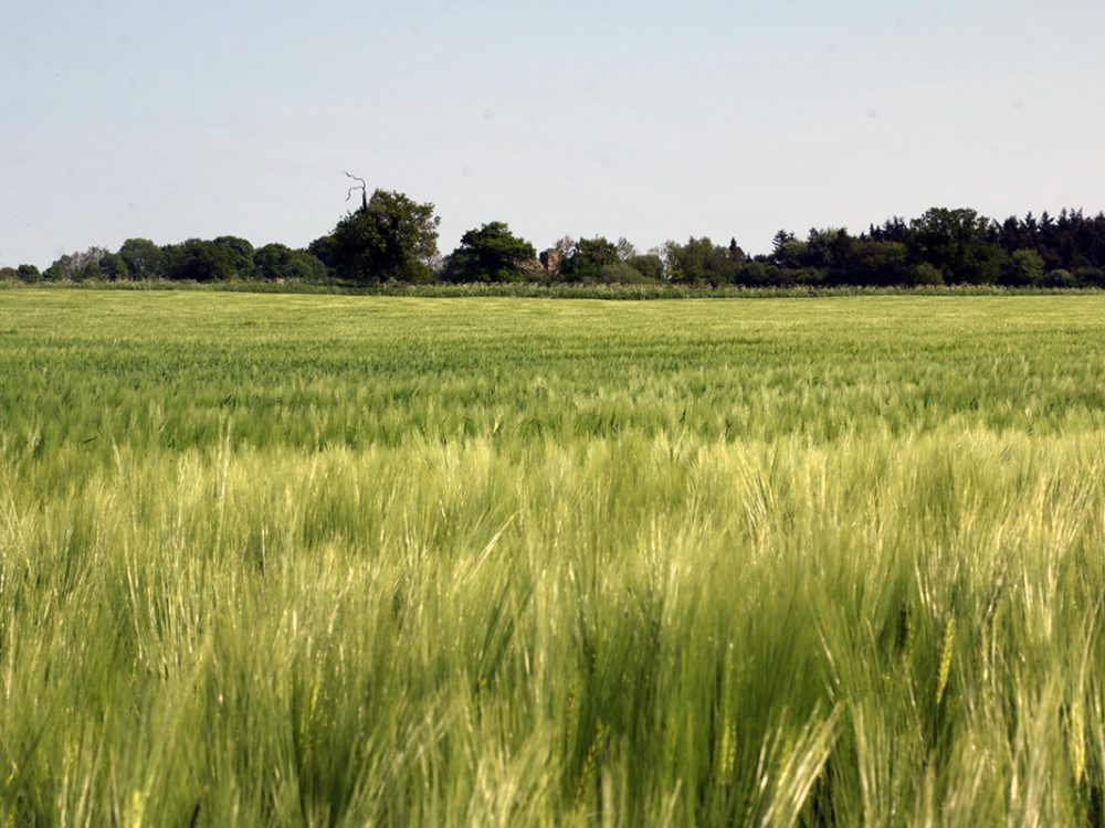 View across a field of silvery barley with a line of trees on the horizon, Norfolk, UK, Peddars Way National Trail, 2018. Copyright Stephanie Boon, 2018. All Rights Reserved.
