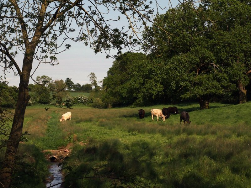 Field of cattle on The Peddars Way national trail, Norfolk, UK, 2018. Copyright Stephanie Boon, 2018. All Rights Reserved.