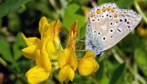 Silver studded blue with closed wings on a yellow vetch flower
