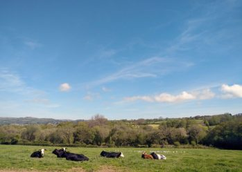 Cornish countryside near St Austell: cows lying in a field with gulls behind.