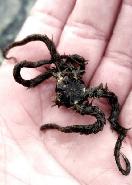 30 Days Wild: A brittle star fish in the palm of my hand.